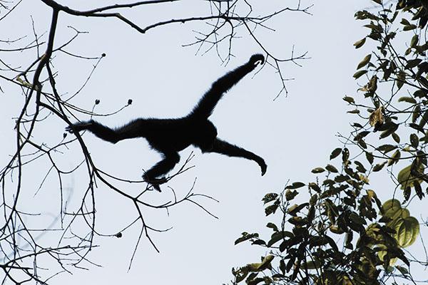 mg_82527_gibbon_jumping_280x210.jpg